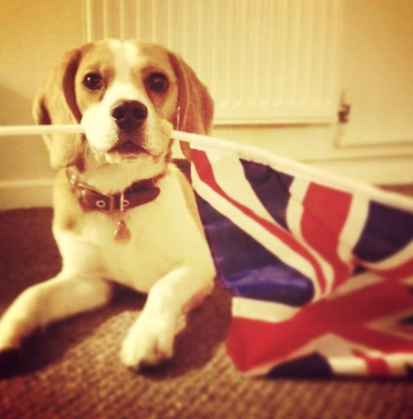 uk_beagle_steph_henderson.jpg