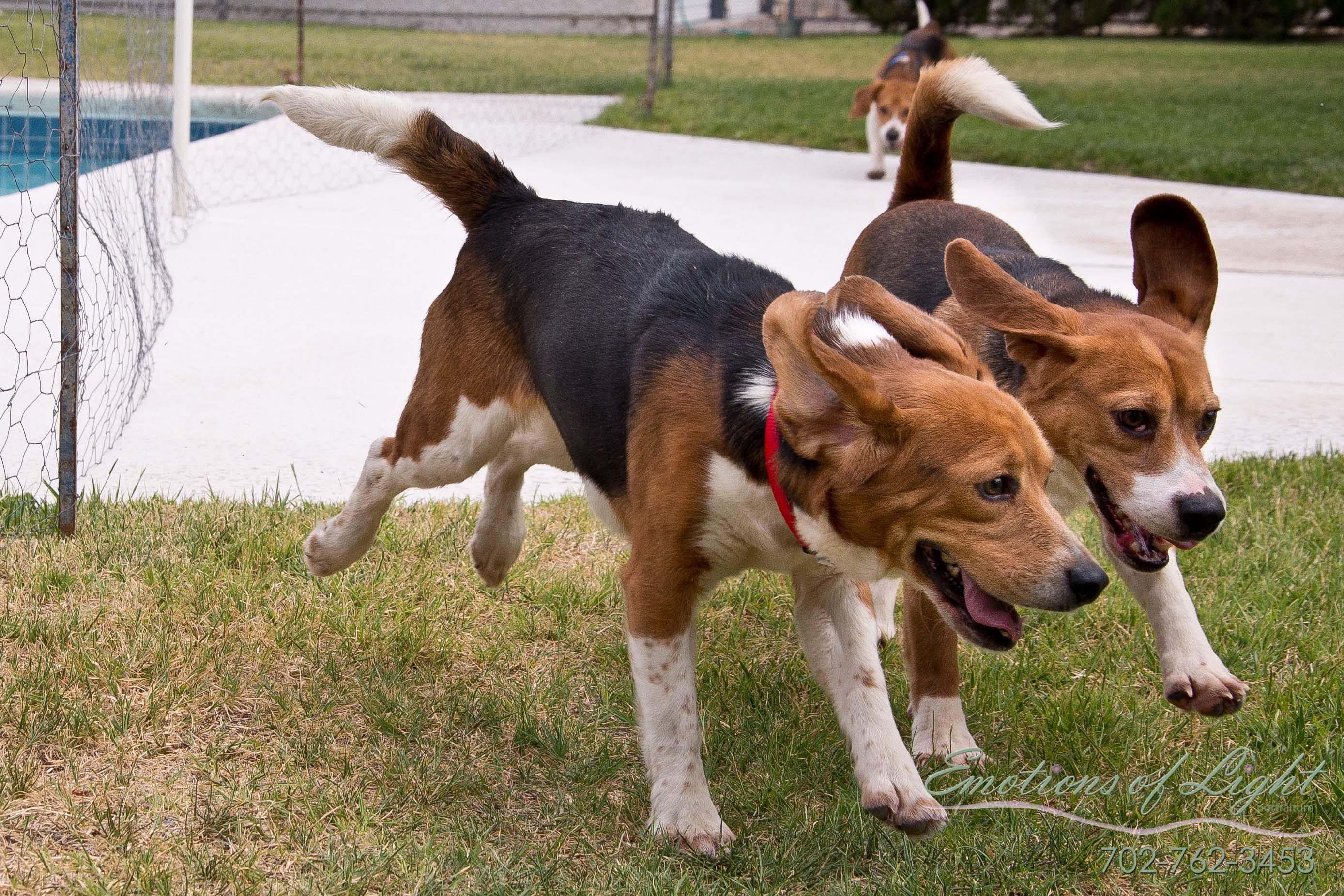 Beagle Rescue League, Inc. » Available Beagles