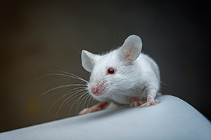 mouse-closeup.png