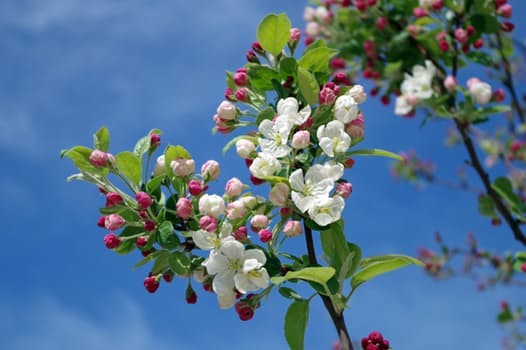 apple-blossom-tree-branch-spring-67286.jpeg