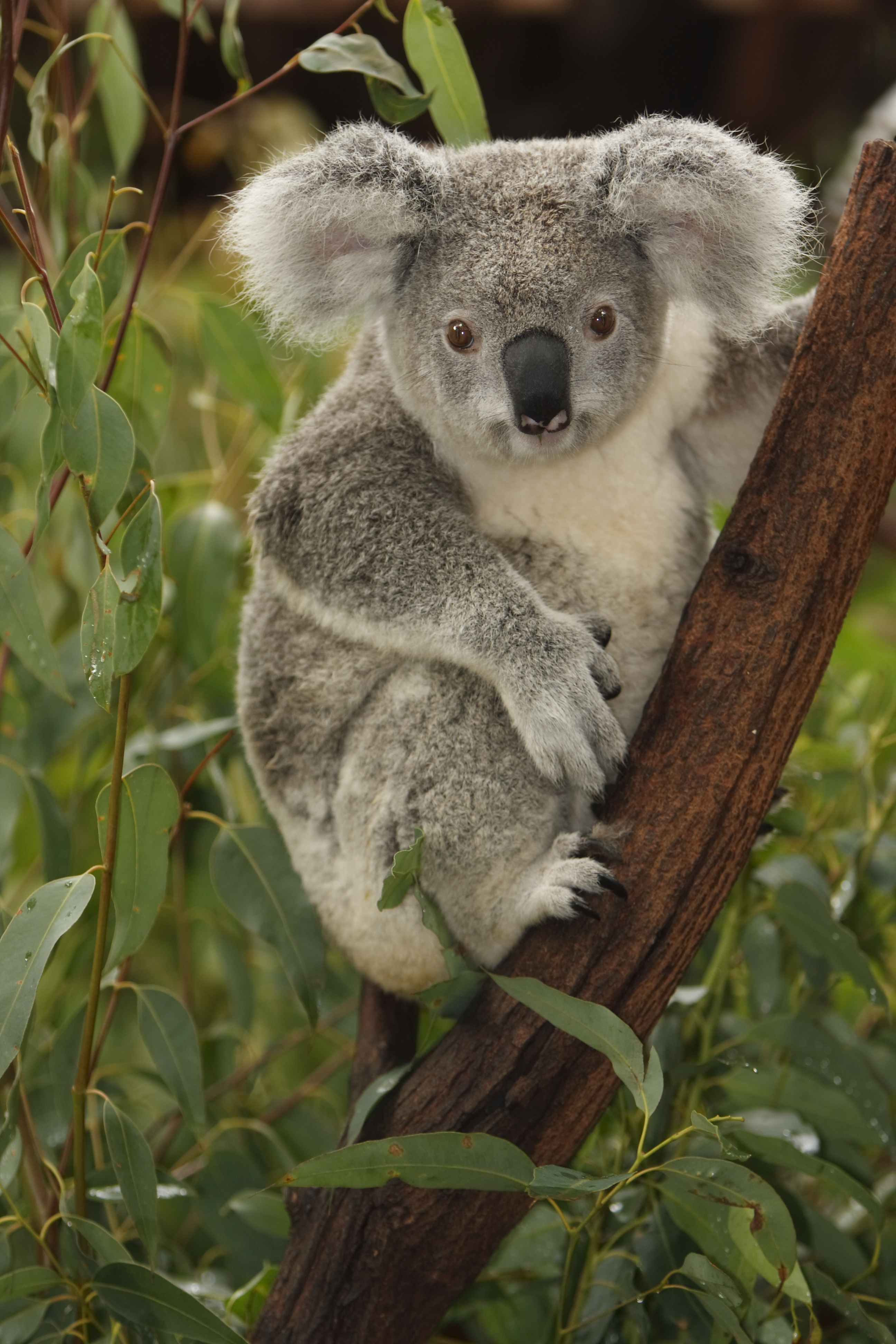 iStock_koala_Large_(1).jpg