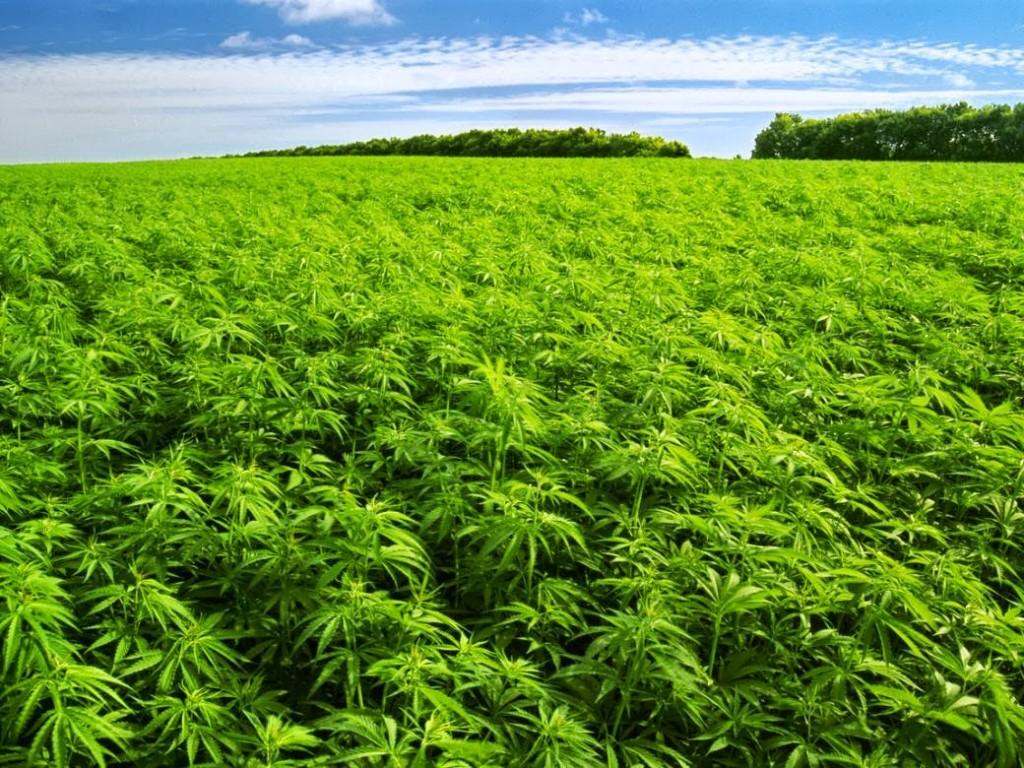 lge_marijuana-farm.jpg