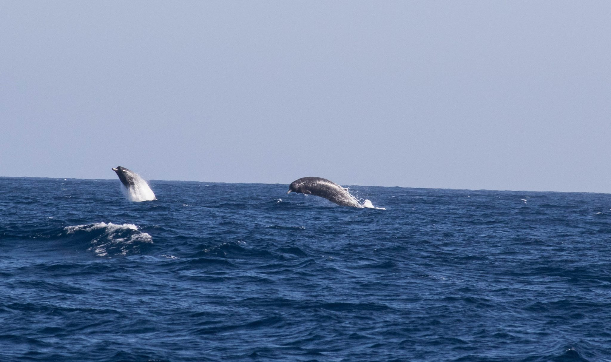 Beaked_whales_near_Bermagui___Geelong_Star_10jan2016_2.jpg