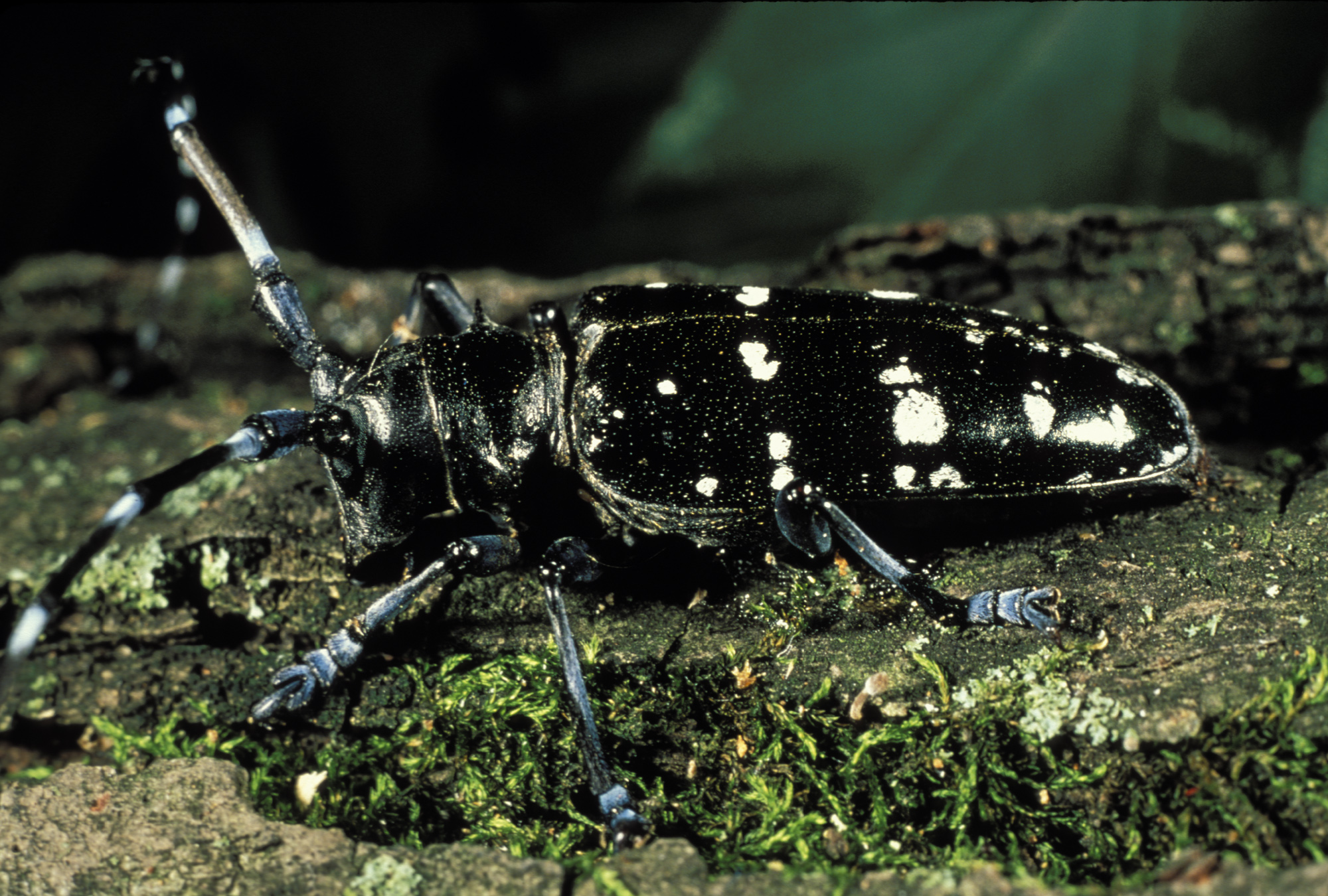 Invasive Species | Asian Long-Horned Beetle - Michigan United ...
