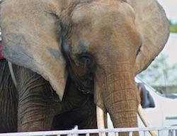 Hurt Elephant