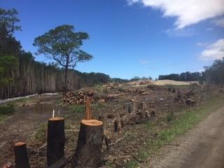 Labor moves in Parliament to stop destruction of North Coast koala habitat