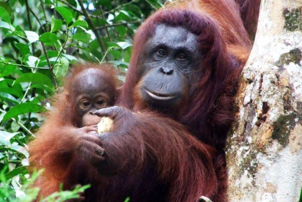 Orangutans will be extinct in 20 years – NSW Minister Niall Blair can help save them today