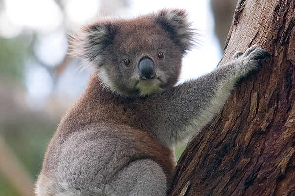 Baird Government not prepared to take tough decisions to save koalas in NSW