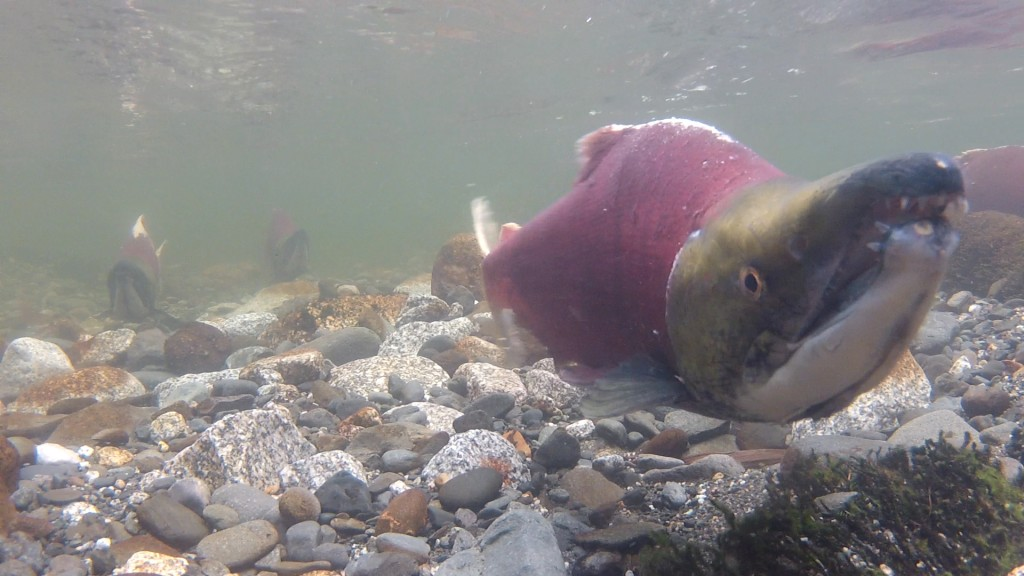 Photo for Buffering the Storm: How Stream Buffers Safeguard Alaska's Salmon