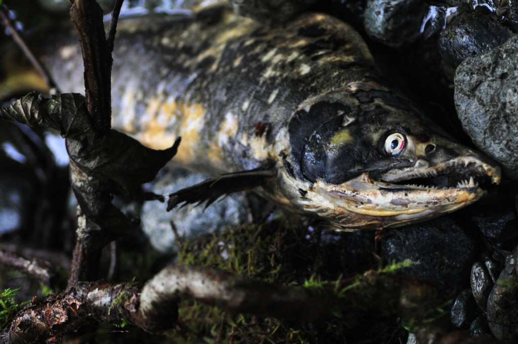 Photo for British Columbia Mines Threaten Southeast Salmon Runs