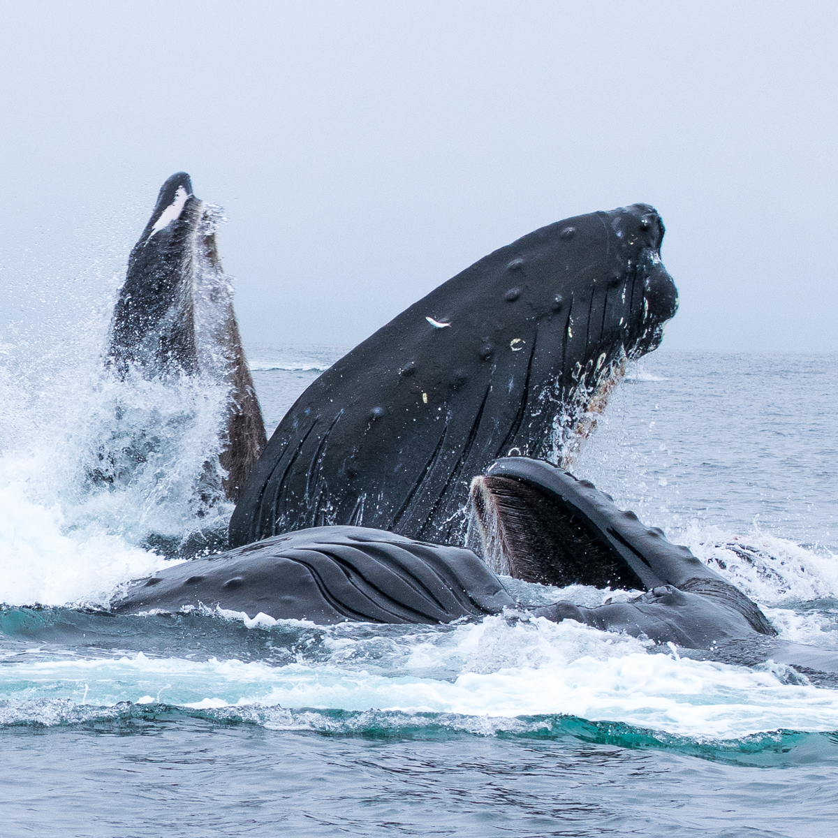 Photo for Beyond Your Dreams, Within Your Reach: Bubble-Netting Humpbacks In Sitka Sound