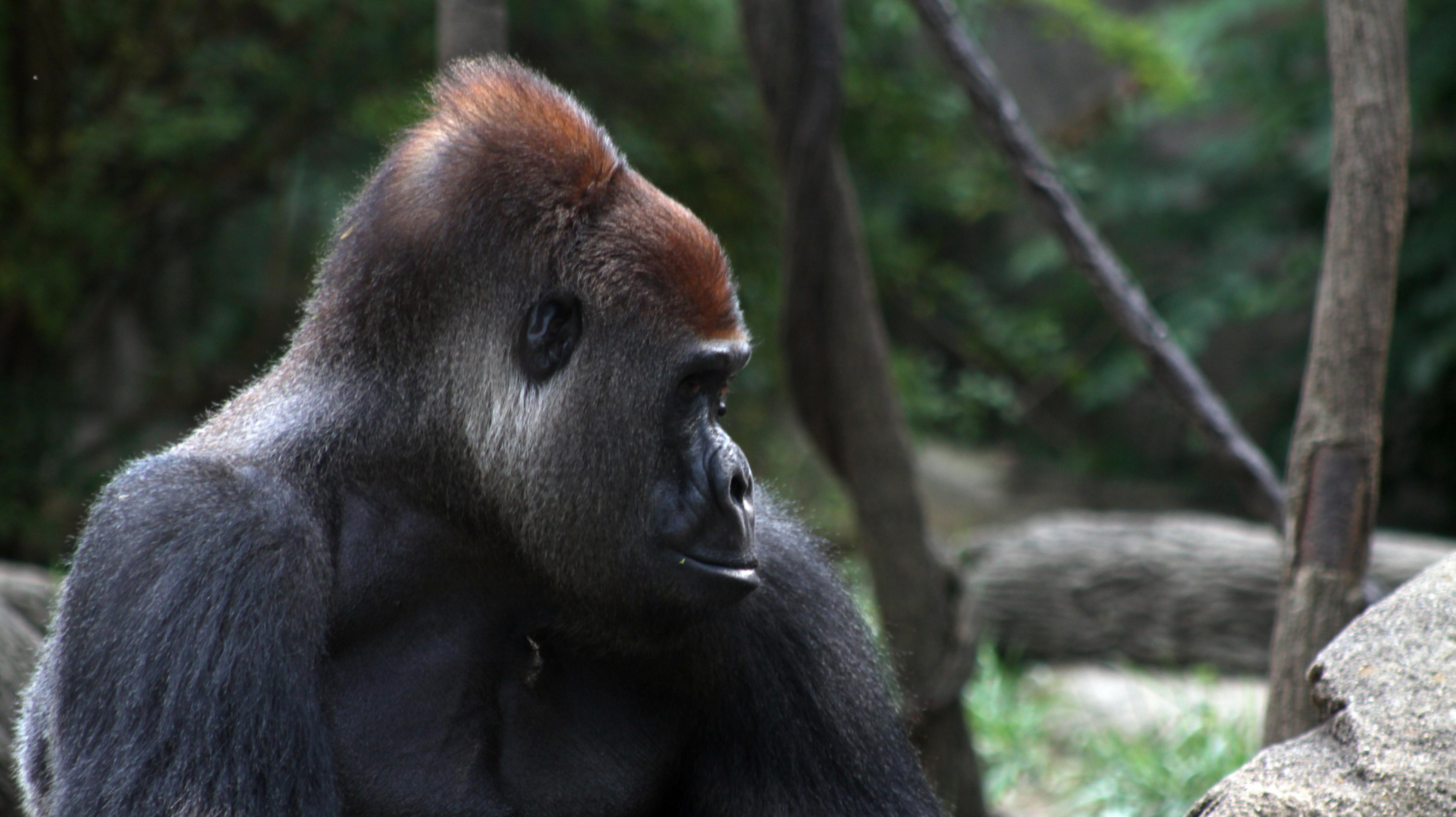 p_harambe_gorilla.jpeg