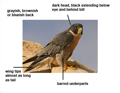 Peregrine_Falcon.png