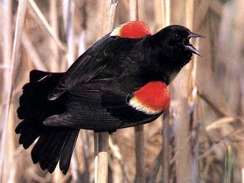red_winged_black_bird.jpg