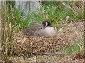 nesting_geese.png
