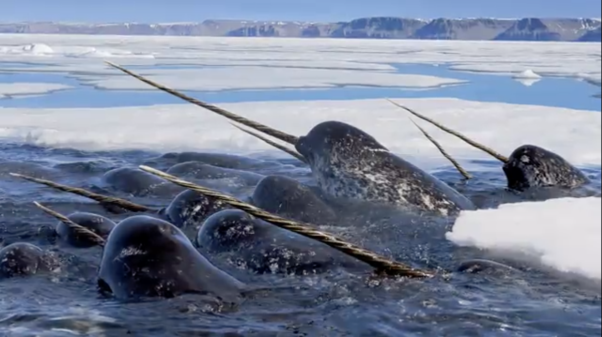 TotheEndsoftheEarth_Narwhal.png