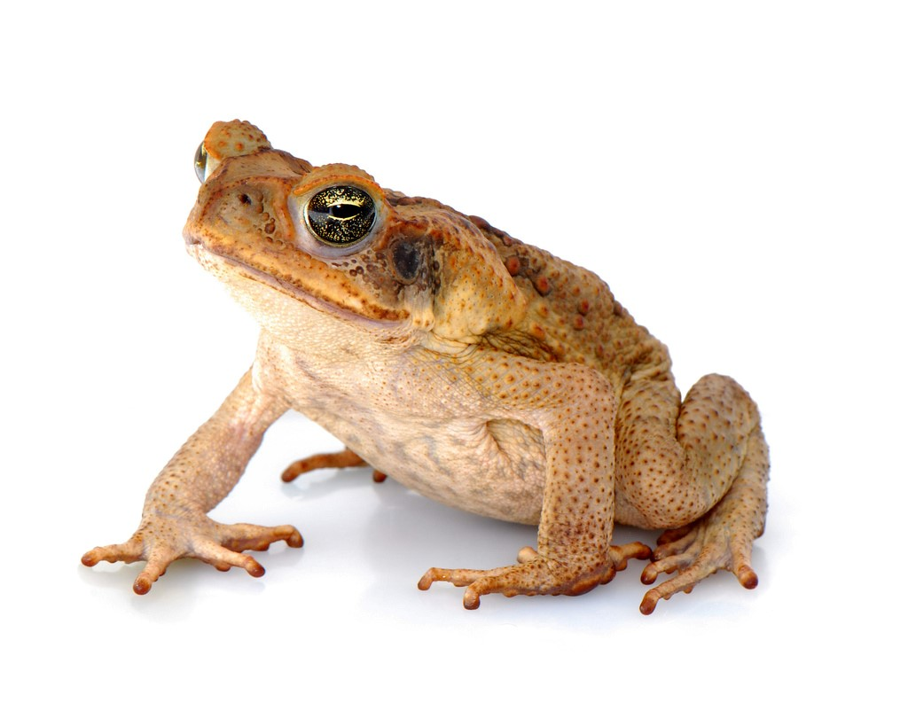 CANE_TOAD.jpg