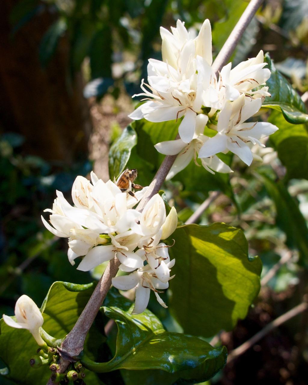 Taiwan Coffee Bush in Bloom