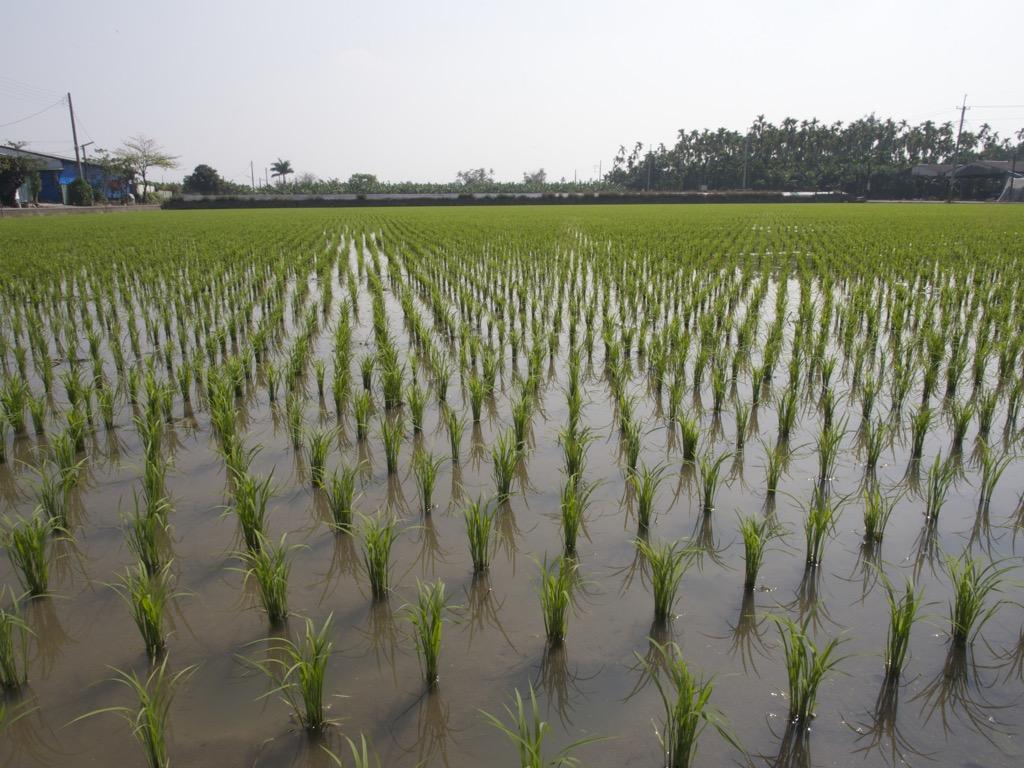 Taiwan Rice Paddy