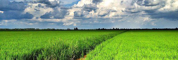 ricefieldms_crppoed.jpg
