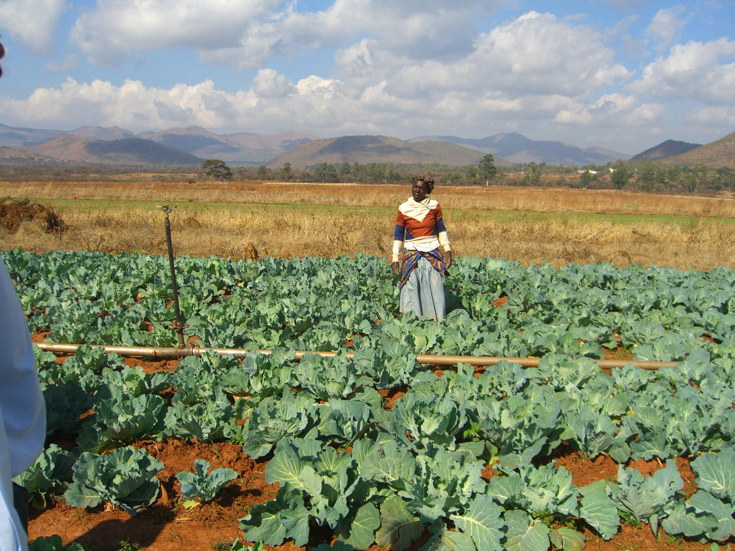 Woman in cabbage field