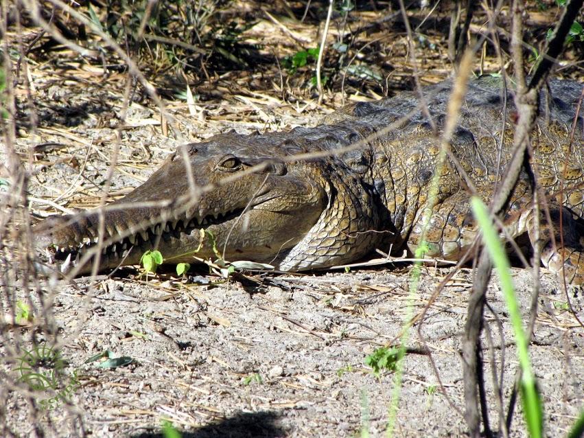 freshwaterCrocodile.JPG