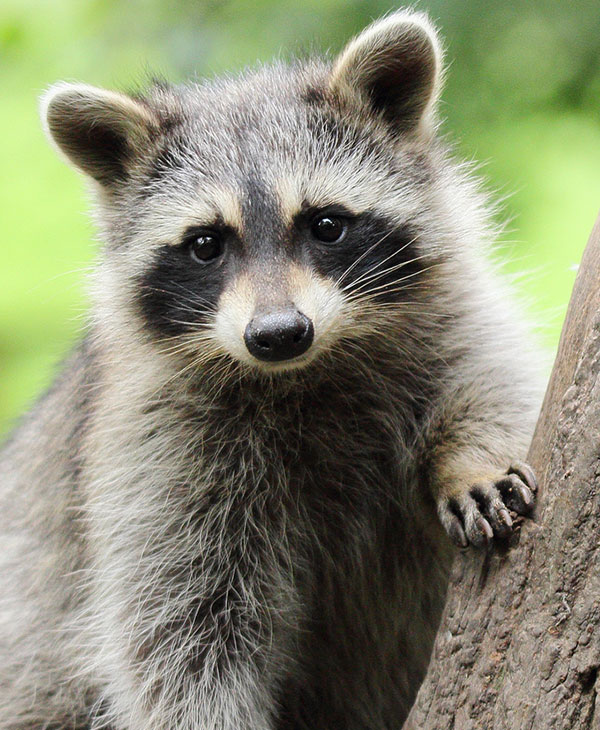 cute-animals-raccoons-3.jpg
