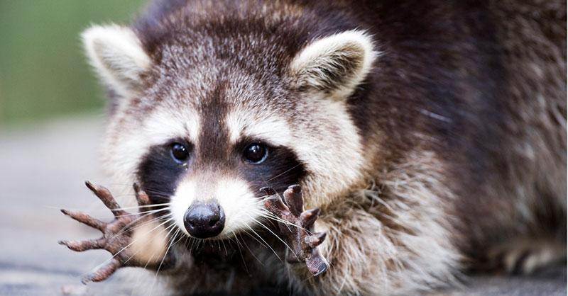 cute-animals-raccoons-THUMB.jpg