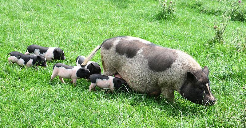 cute_pigs.jpg
