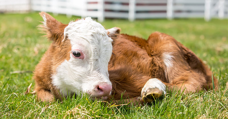 cute-animals-farm-cows-rescue-THUMB.jpg
