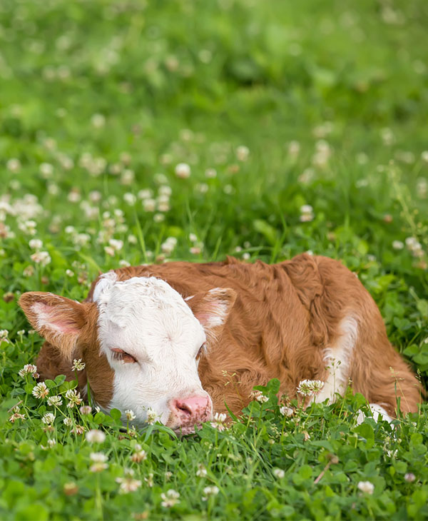cute-animals-farm-cows-sleeping.jpg