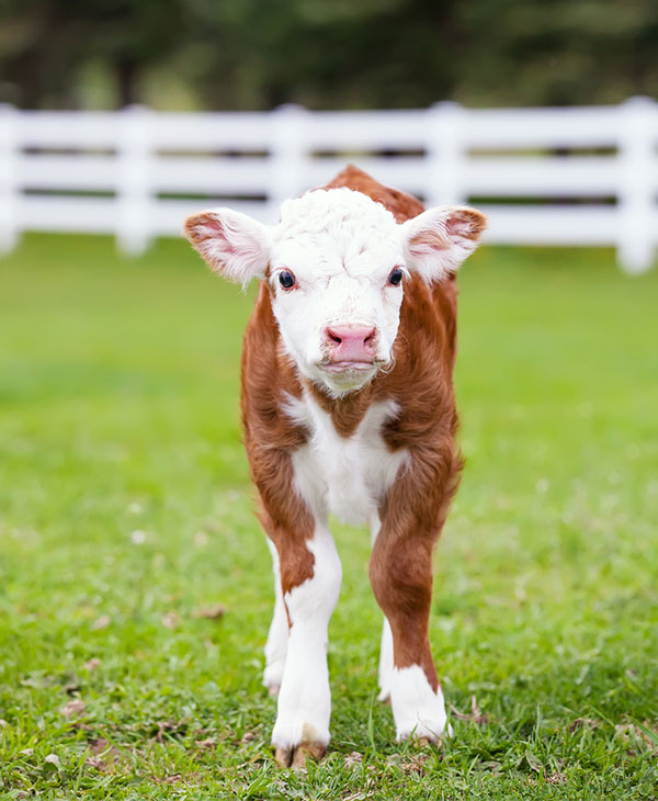 cute-animals-farm-cows-standing.jpg