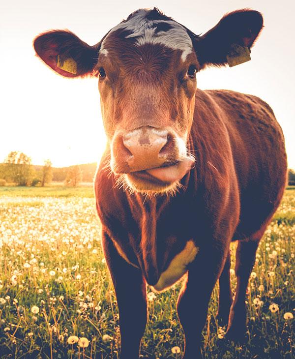 cute_cow_ig.jpg