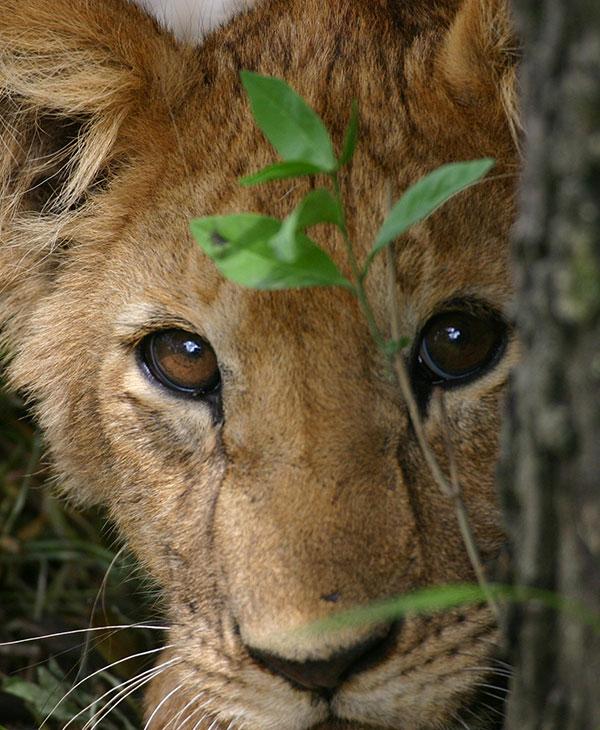 cute-lion-cub-close-up.jpg