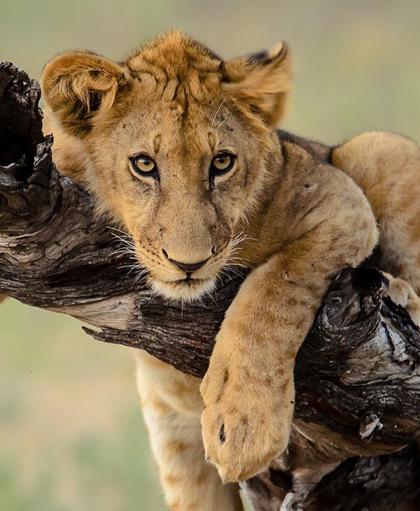 cute-lion-on-tree.jpg