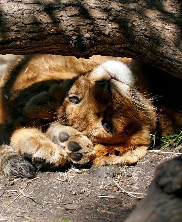 cute-lion0cub-upside-down.jpg
