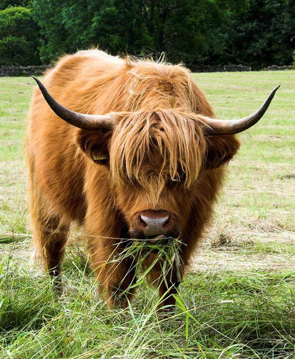 cow-farm-animals-2.jpg