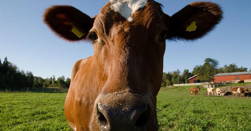 cow-farm-animal-thumb.jpg