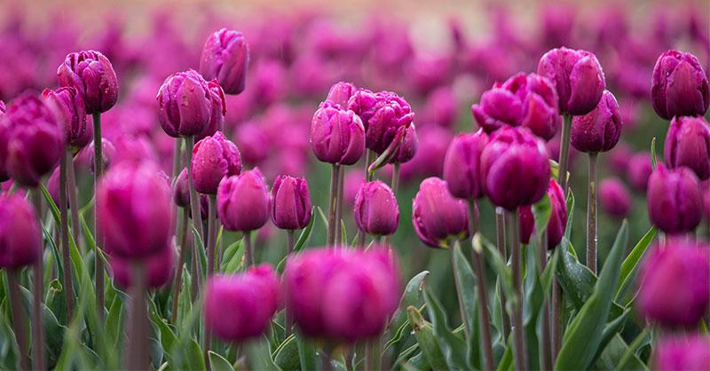 tulipsthumb2.jpg