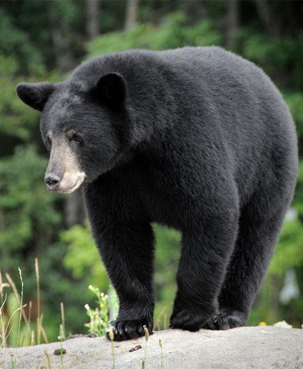 bearsave1.jpg
