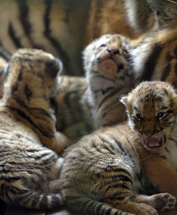 cute_tiger_quins.jpg