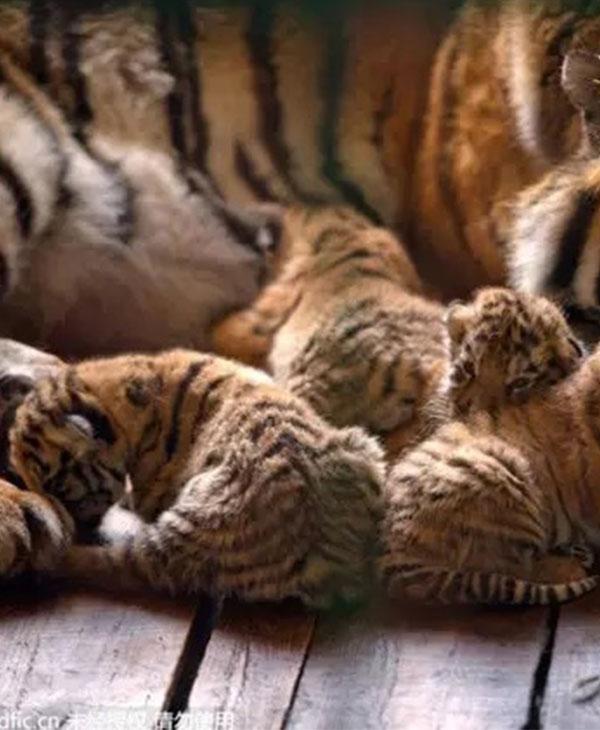 cute_tigerquins.jpg