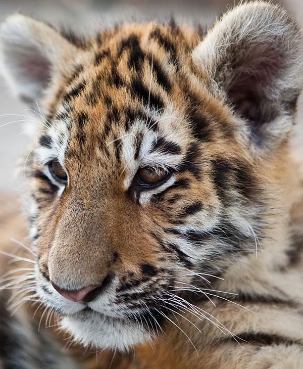 cute_tiger1.jpg