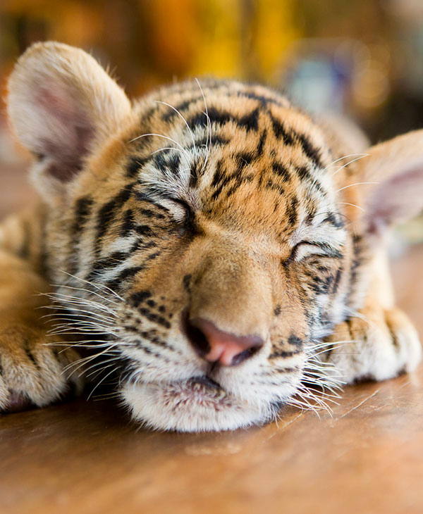 cute_tiger3.jpg