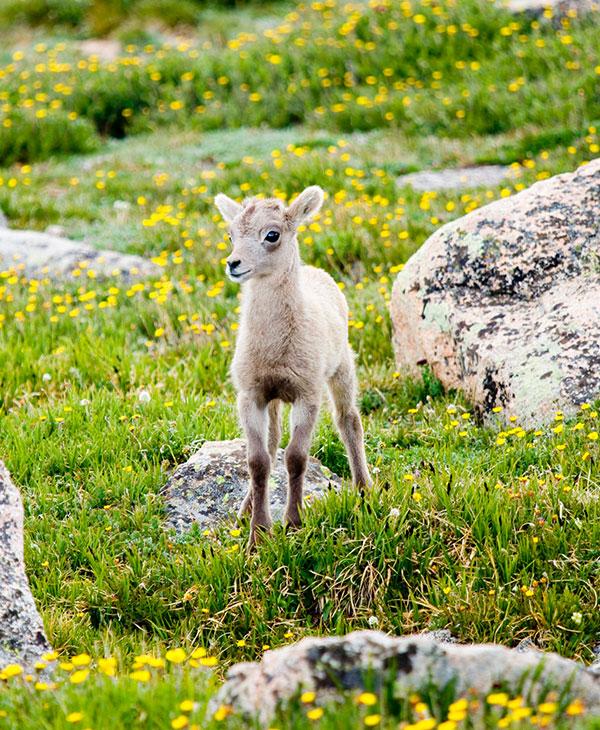 cute_sheep1.jpg