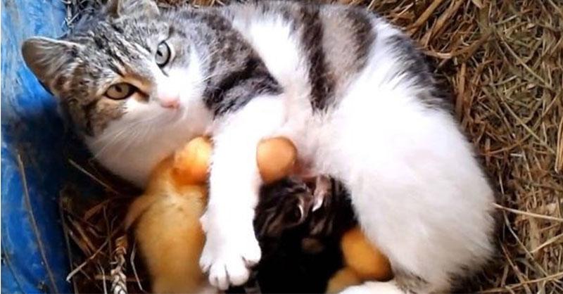 cute_chicks_cat.jpg