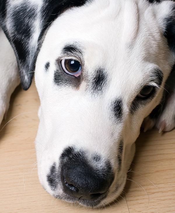 cute-dalmatian-dog.jpg