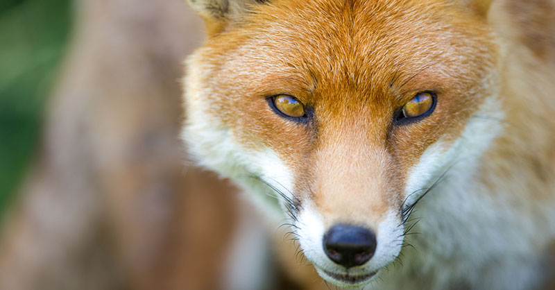 cute_foxrescue2.0THUMB.jpg