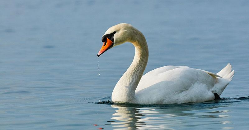 cute_swan-thumb.jpg