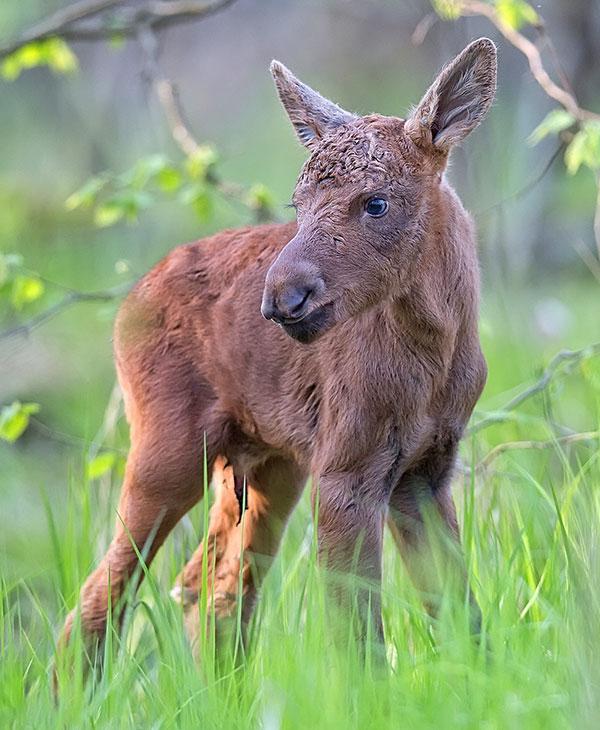 cute_moose_1.jpg